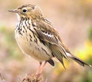 pispola uccelli volatili uccello volatile